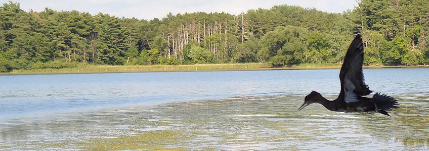 Hooded merganser flying over Lake Vadnais